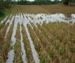 Maíz, Cultivo más Afectado por Lluvias y Granizadas: Sedru