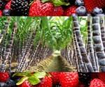 SEDRU Comprometido con el Apoyo a Productores de Caña y de Frutillas: JRL
