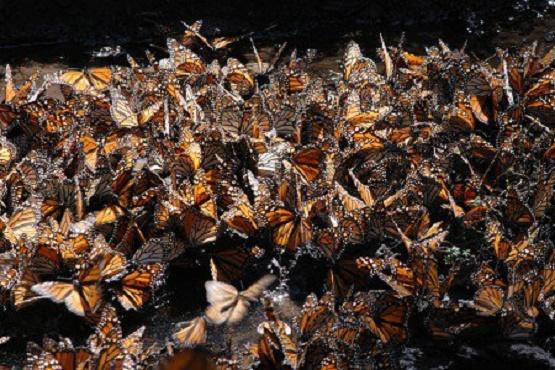 Preparan Apertura de los Santuarios de la Mariposa Mona