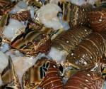 Promueven Actualización de Norma que Regula la Pesquería de la Langosta