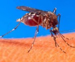 Hay Personas Infectadas por el Virus del Chikungunya en Carácuaro