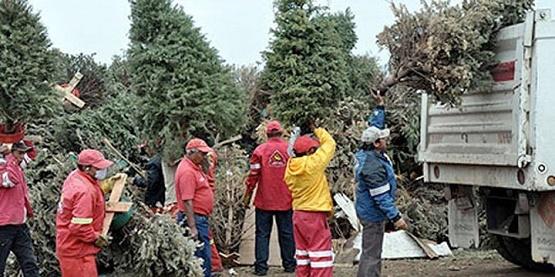 Invita Secretaría de Servicios Públicos Municipal a Reciclar Árboles de Navidad Naturales