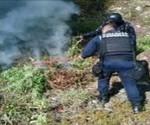 Destruye Policía Federal Plantío de Marihuana en la Huacana, Michoacán