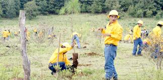 Reforestación-Nahuatzen